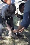 Tanzania Mass Dog Vaccination 2008